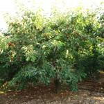 albero di 'ciliegia Ferrovia'